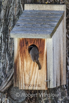 House Wren at Nest Box 0233W8WM