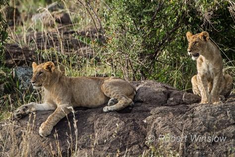 African Lion 0743W1C