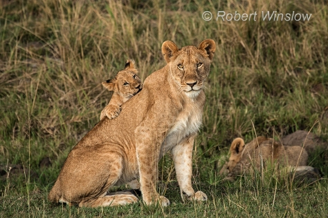 African Lion 1190W1C