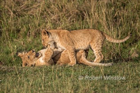 African Lion Cubs1293W1C