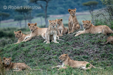 African Lions 1072W1C