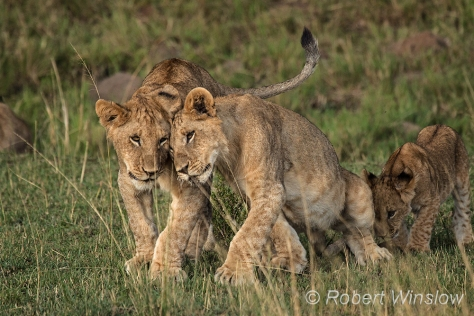 African Lions 1208W1C