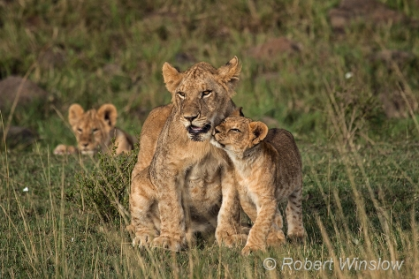 African Lions 1216W1C