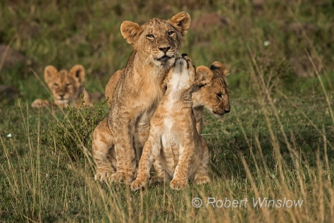 African Lions 1220W1C