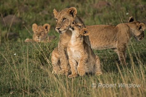 African Lions 1223W1C