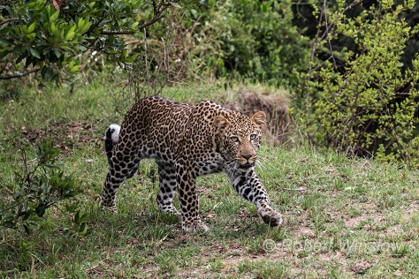 Leopard 0310W1C