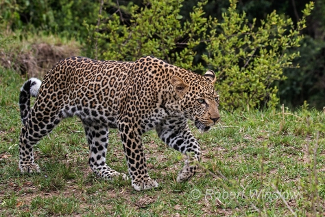 Leopard 0313W1C