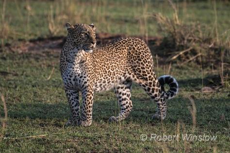 Leopard 0549W1C