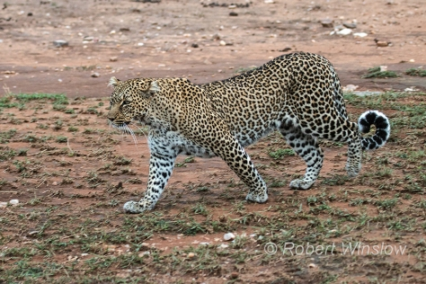 Leopard 0773W1C