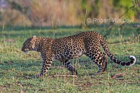 Subadult Leopard 0984W1C