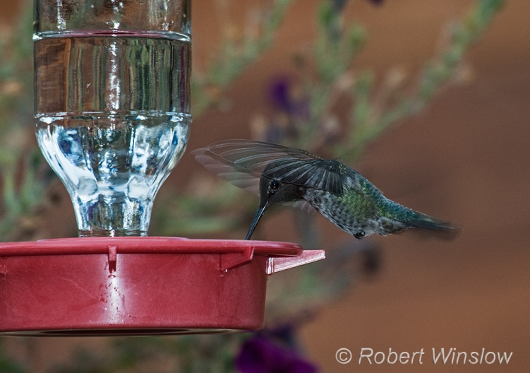 Anna's Hummingbird, Calypte anna, La Plata County, Colorado, USA, North America